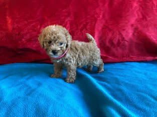 Stunning f1 cavapoo puppies available