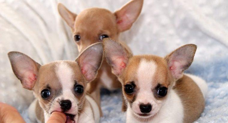 Stunning Chihuahua Ppupies,