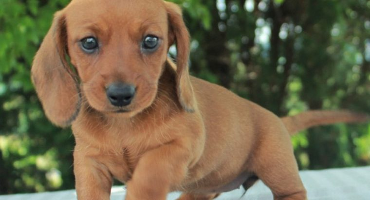 Stunning Dachshund puppies for sale