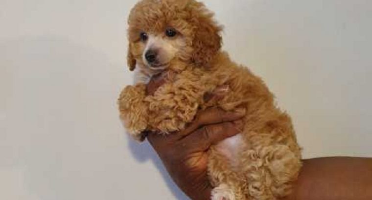 Red Toy Poodle Puppies For sale male and Females