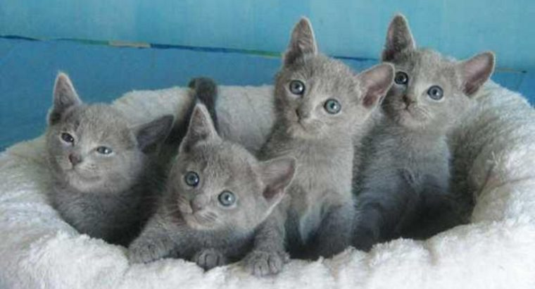 Russian Blue Kittens for sale male and females