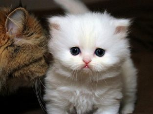 White Teacup Persian Kittens for New Homes