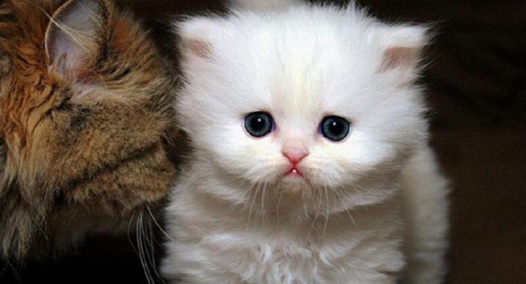 White Teacup Persian Kittens for New Homes