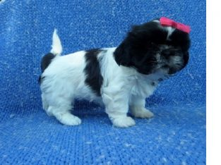 talented Shih Tzu Available Pups