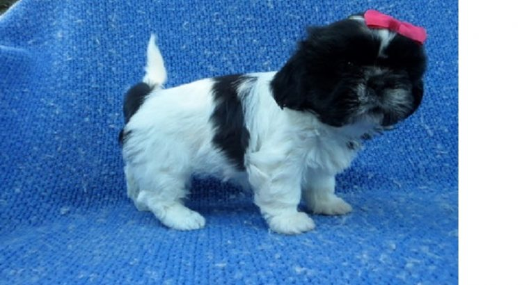 superb Puppies availabe, Males and females Shih Tz