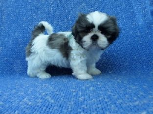 trustworthy Available Shih Tzu Pups