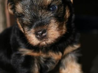 Sweet Small Yorkie/Yorkshire Terrier pup