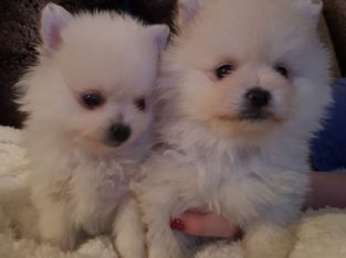 handbag size true tiny pomeranian puppies