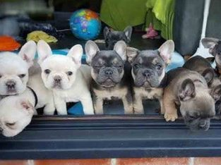 Blue & Blue Pied French Bulldog Puppies, KC Reg