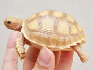 Looking for the nicest baby albino sulcata tortois