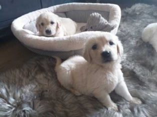 Adorable Golden Retriever puppies for rehoming