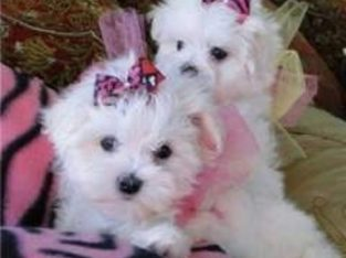 Lovely Male and Female Maltese Available