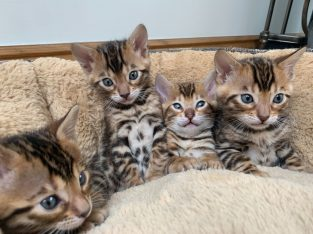Bengal kittens needs a new home