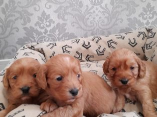 Beautiful litters of Cockapoo puppies