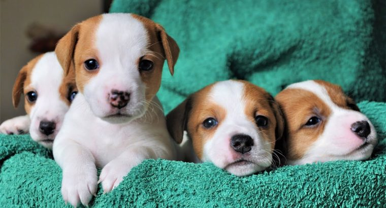 Amazing litters of Jack Russell terrier pups