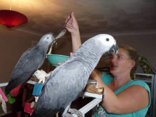 African Grey Parrots And Other Live Birds On Sale