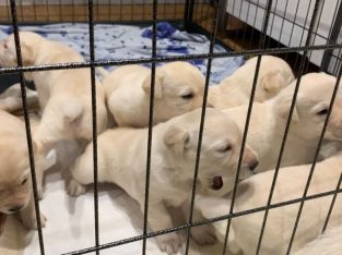 Amazing litters of Labrador retriever puppies