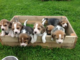 Champion Bred Puppies (kc Reg)