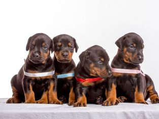Kc Black And Tan Doberman Puppies