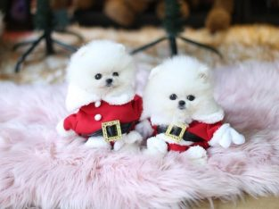 Pure White Pomeranian Puppies.