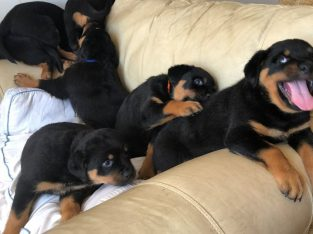 Gorgeous Full Pedigree Rottweiler Pups