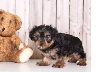 Tea Cup Yorkshire Terrier Puppies