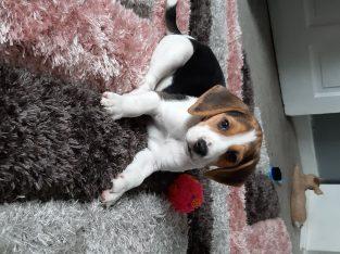 Beautiful Beagle Pups Available