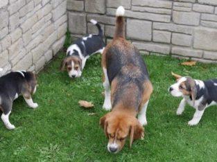 Beautiful Beagle Puppies +447440524997