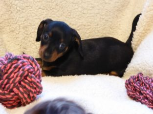 Pra Clear Dachshund Puppies
