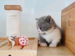 grey munchkin kittens