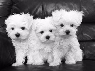Maltese Puppies For Sale. +447440524997