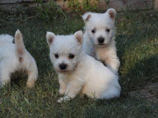 Excellent West Highland Terrier Puppies +447440524