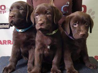 Healthy Labrador retriever puppies