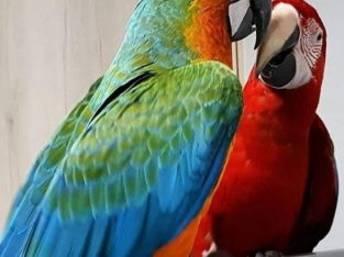 Hand Reared Blue & Gold Macaws For Sale