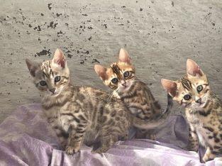 bengal kittens for adoption