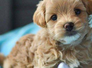 Adorable outstanding Maltipoo puppies