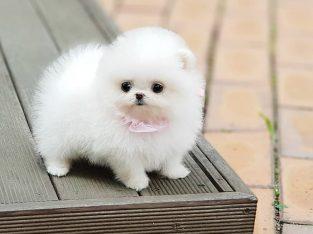 Gorgeous white Teacup Pomeranian Puppies for sale