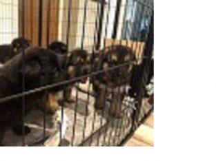 Kc Reg German Shepard Puppies