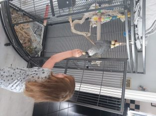 Hand Tame Baby African Parrots